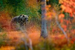 Bear hidden in orange red forest. Autumn trees with bear. Beautiful brown bear walking around lake with fall colours. Dangerous an royalty free stock images