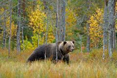 Bear hidden in yellow forest. Autumn trees with bear. Beautiful brown bear walking around lake with fall colours. Dangerous animal. Bear hidden in yellow forest stock photos