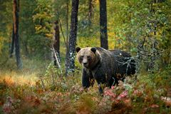 Bear hidden in yellow forest. Autumn trees with bear. Beautiful brown bear walking around lake with fall colours. Dangerous animal royalty free stock photo