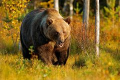 Bear hidden in yellow forest. Autumn trees with bear. Beautiful brown bear walking around lake with fall colours. Dangerous animal royalty free stock image