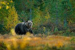 Bear hidden in yellow forest. Autumn trees with bear. Beautiful brown bear walking around lake with fall colours. Dangerous animal. In autumn forest Royalty Free Stock Photos