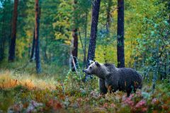 Bear hidden in yellow forest. Autumn trees with bear. Beautiful brown bear walking around lake with fall colours. Dangerous animal royalty free stock images