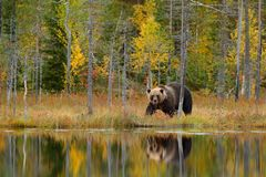 Bear hidden, yellow forest. Autumn trees with bear, mirror reflection. Beautiful brown bear walking around lake, fall colours. Dan Stock Photo
