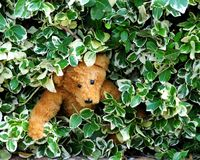 Bear in hiding Royalty Free Stock Photos