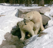 Bear hug 6. Taken in cochrane ontario Stock Images