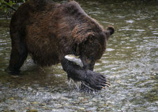 Bear hug. Closeup of a grizzly bear as he hugs his catch of fresh chum (dog) salmon.  Tongass national forest, Alaska Royalty Free Stock Photo