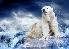 Bear Hunter. White Polar Bear Hunter on the Ice in water drops Stock Image