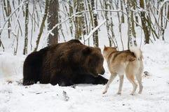 Bear hunting royalty free stock image