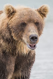 Bear hunts for fish salmon Royalty Free Stock Images
