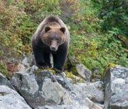 Bear Intent. Alaskan black bear fishing in a glacial lake in Lake Clark National Park, Alaska Royalty Free Stock Photos