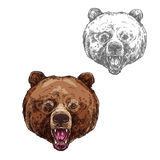 Bear isolated sketch with head of wild grizzly Stock Image