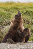 Bear itch Royalty Free Stock Photos
