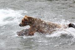 Bear jumping Royalty Free Stock Image