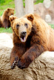 Bear Kamchatka Royalty Free Stock Photos