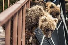Bear in Kamchatka. brown bear in bridge in Kamchatka, Russia royalty free stock photography