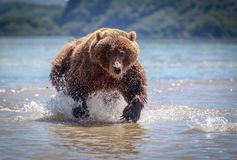 Bear in Kamchatka. A brown bear in the water in Kamchatka, Russia stock photography