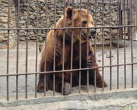 The bear is kept behind bars Royalty Free Stock Photography