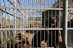 Bear in l cage Stock Photography