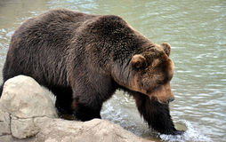 Bear at the lake Stock Photography