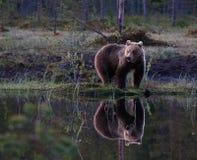 Bear at Lake Stock Images