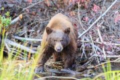Bear, Lake Tahoe Stock Photos