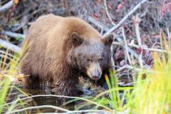 Bear, Lake Tahoe Stock Image