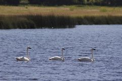 Bear Lake Trumpeter swan, Cygnus buccinator. 3 trumpeter swans swimming in a nearby pond Stock Image