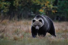 Bear late in the autumn. Big brown bear late in the autumn evening royalty free stock photo