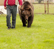 Bear on a leash Stock Photography