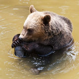 Bear licking his paw (Ursus arctos) Royalty Free Stock Images
