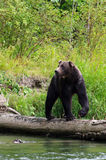 Bear on Log. A grizzly, or brown, bear on a log by a river looking for salmon Royalty Free Stock Images
