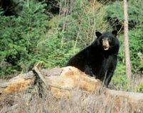 Bear on a Log Royalty Free Stock Photos
