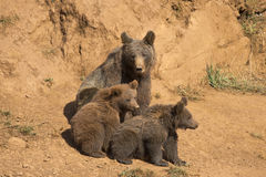 Bear looking after her cubs. Royalty Free Stock Image