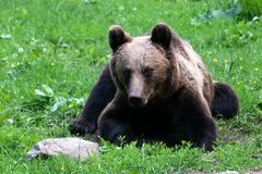 A bear is looking at me royalty free stock photo