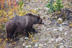 Bear looking for nuts next to the road Royalty Free Stock Photo