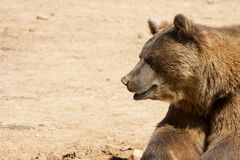Bear looking at one side Royalty Free Stock Photo