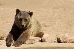 Bear looking at one side Royalty Free Stock Image