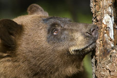 Bear Looking up Tree Stock Photography