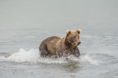 Bear looks for fish in water Stock Image