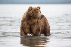 Bear looks for fish in water royalty free stock image