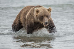 Bear looks for fish in water Stock Photography
