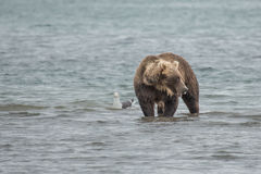 Bear looks for fish in water Royalty Free Stock Images