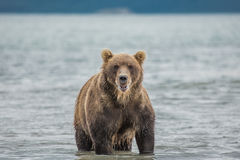 Bear looks for fish in water Stock Images