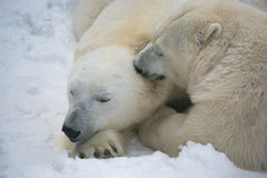 Bear love Stock Images