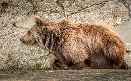 The bear lying down at the stone wall royalty free stock photos