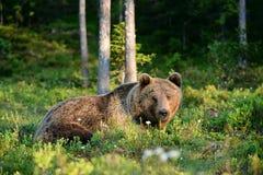 Bear lying Stock Photos