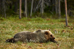 Bear lying in the grass Stock Image