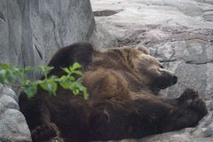 Bear lying resting after eating stock photos