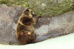 Bear lying sideways Stock Image