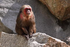 Bear macaque Royalty Free Stock Images